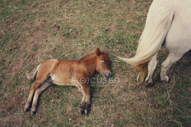 Elevated view of brown foal lying on grass near white horse — Stock Photo