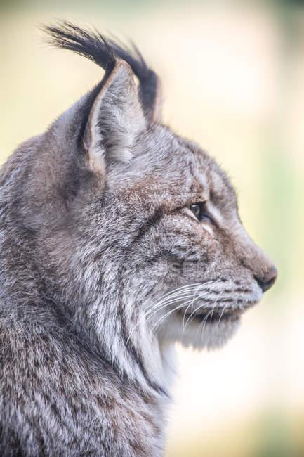 Vue latérale de la tête de lynx — Photo de stock
