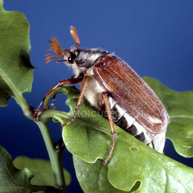 Vue de peut bug insecte — Photo de stock