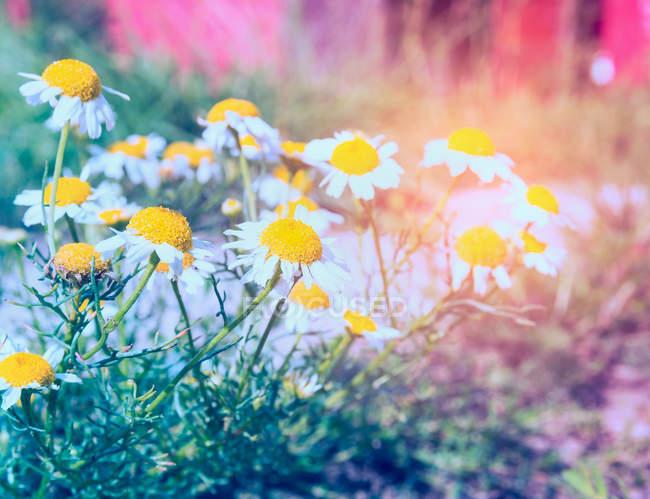 Цветки ромашки на лугу — стоковое фото