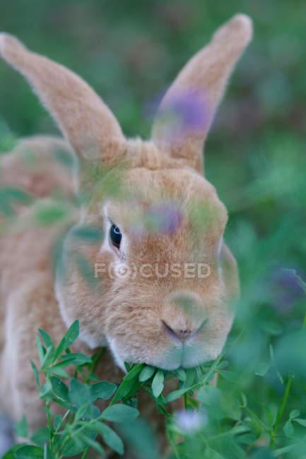 Увеличенном кролик ест листья на зелёный луг — стоковое фото