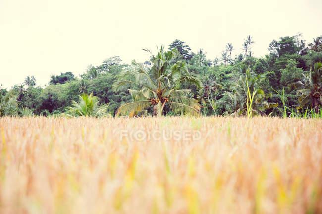 Champ avec la forêt de palmiers — Photo de stock