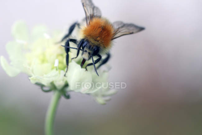 Bumble bee, photo macro — Photo de stock