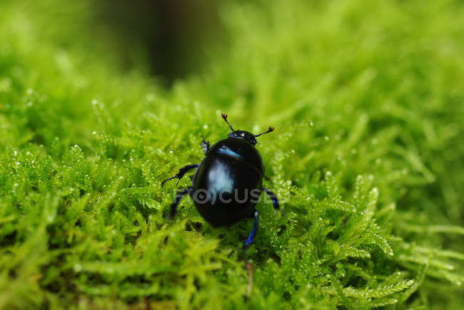 Closeup of beetle crawling in green lush moss — Stock Photo