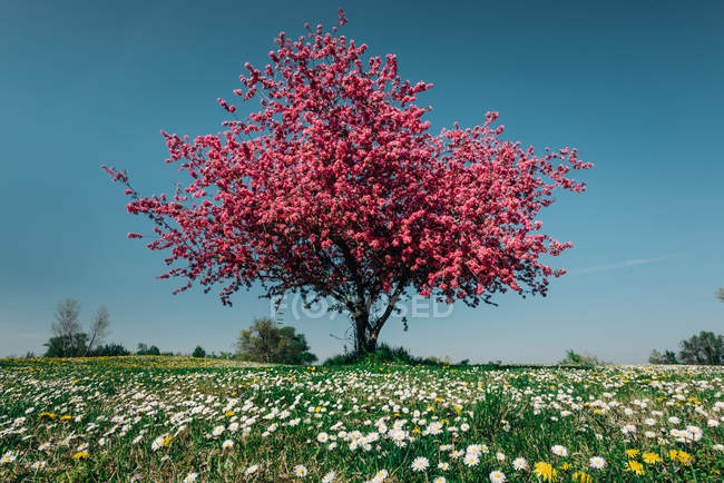 Pink blossoming cherry tree on meadow with wild flowers — Stock Photo