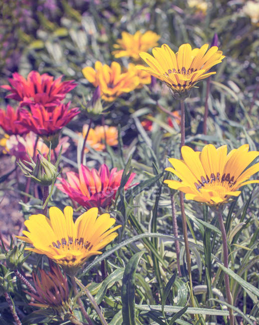 Closeup view of red and yellow blooming flowers — Stock Photo