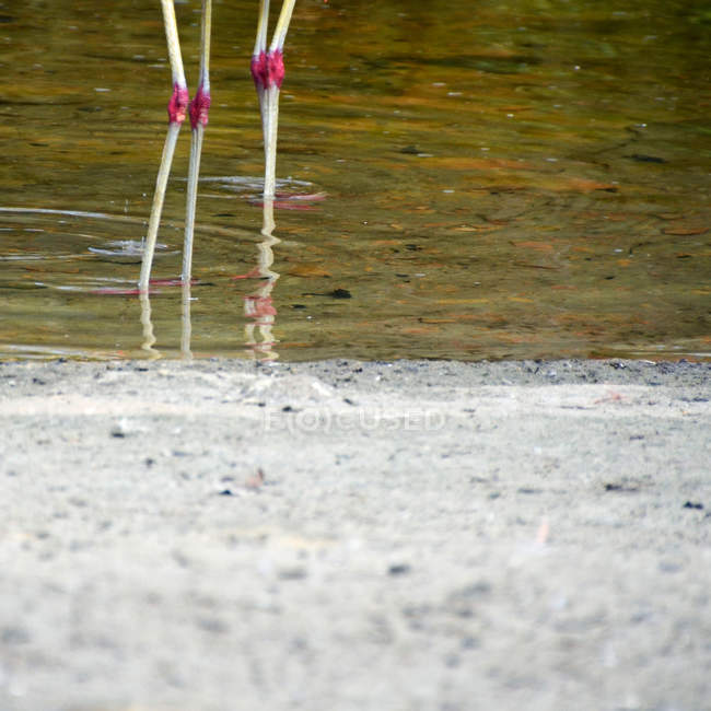 Flamingos legs standing in the lake — Stock Photo