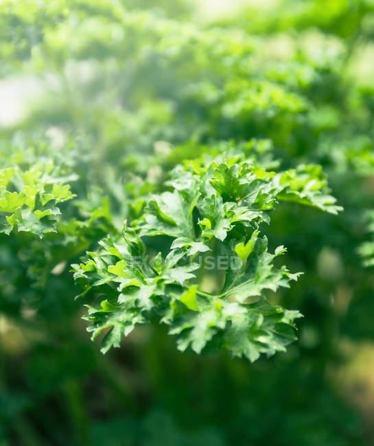 Зеленые ветви петрушки завода — стоковое фото