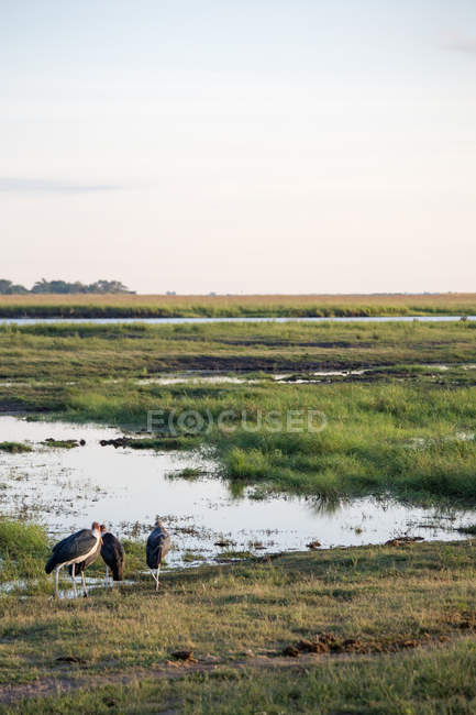 Garzas que se alimentan de pantano verde - foto de stock