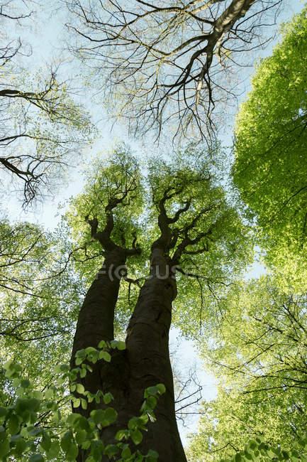 Vista inferior de árvores com folhagem verde nova, em dia de sol de primavera — Fotografia de Stock