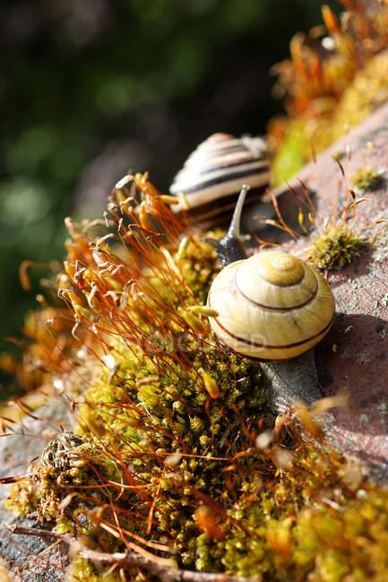 Крупним планом сканування равликів на камінь, порослими мохом — стокове фото