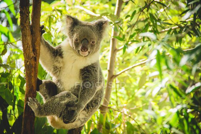 View of koala hanging on eucalyptus tree — Stock Photo