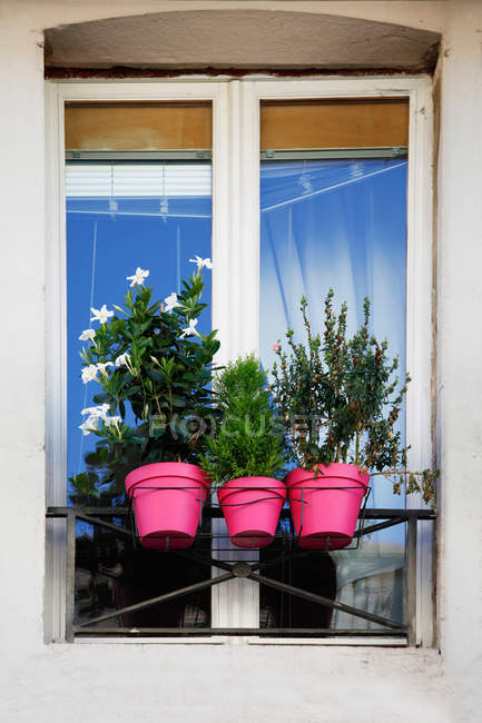 Growing houseplants in pink pots on windowsill — Stock Photo