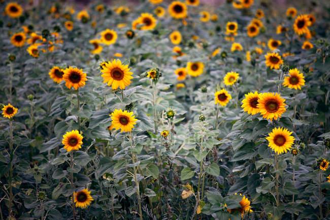 Yellow sunflowers on field — Stock Photo