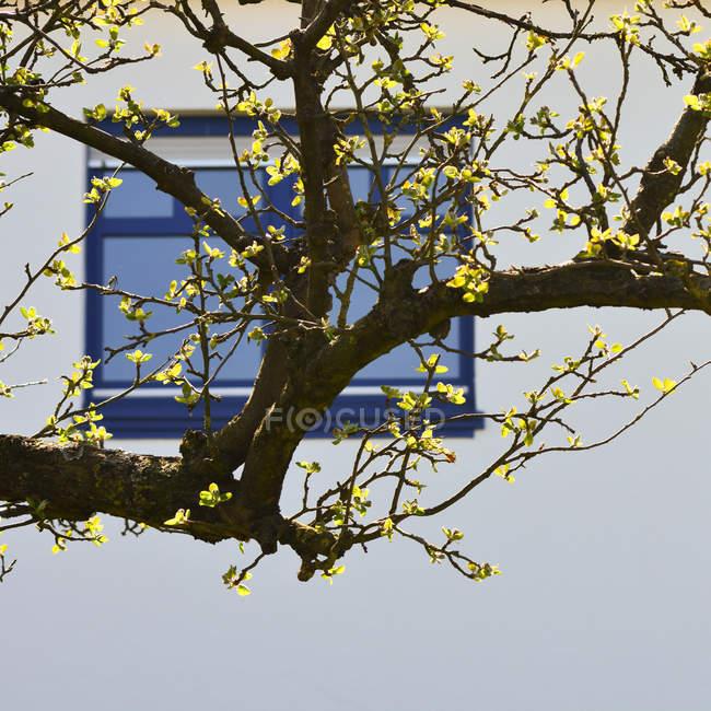 Folhas verdes na árvore perto da janela — Fotografia de Stock