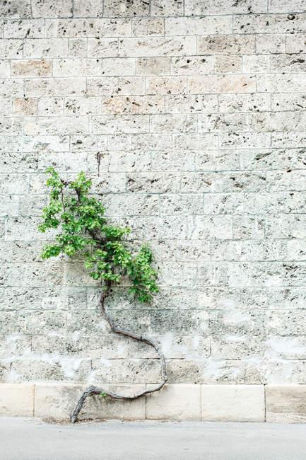 Planta com folhas verdes crescendo na parede — Fotografia de Stock