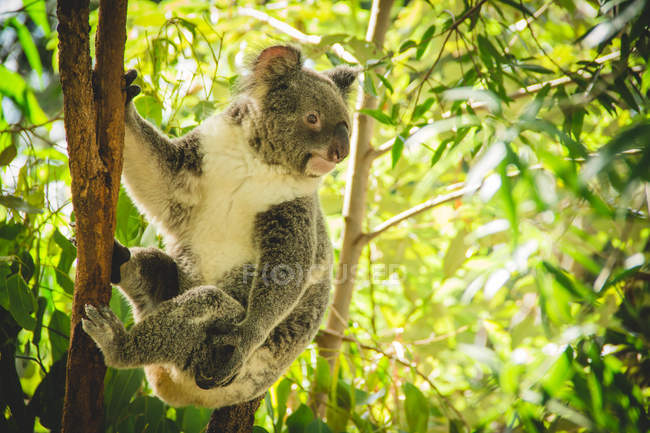 View of koala hanging on eucalyptus tree — Stock Photo
