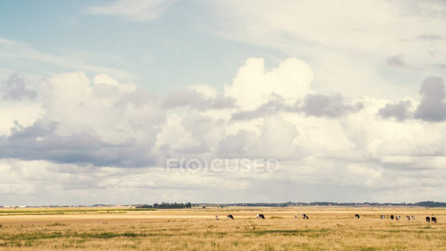 Herd of cows grazing outdoors — Stock Photo