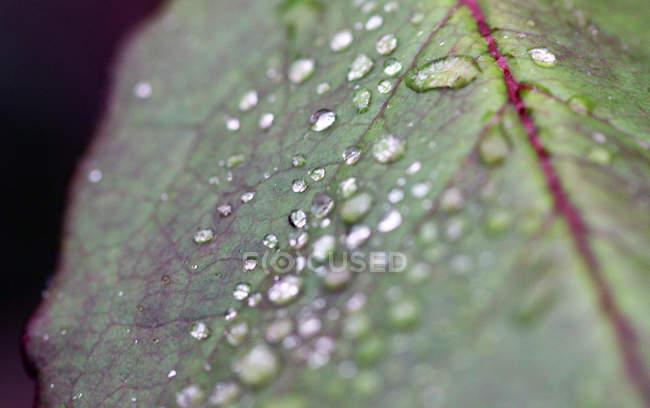 Gros plan de pétale de plante de jardin couverte de gouttes de rosée — Photo de stock