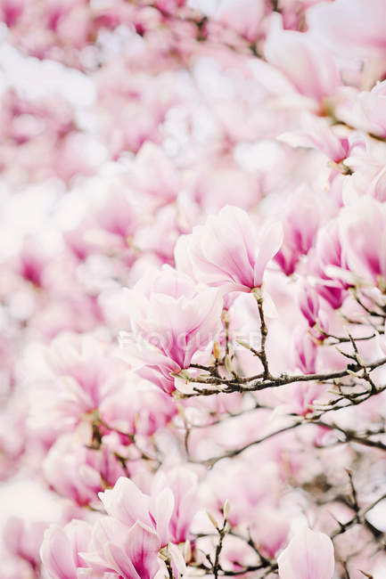 Blooming magnolia at spring — Stock Photo
