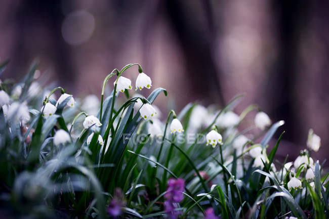 Snowdrops blooming flowers — Stock Photo