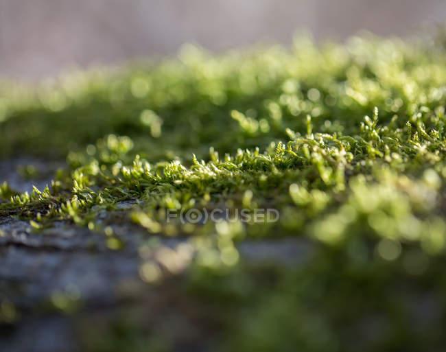 Tapis de mousse, macro — Photo de stock