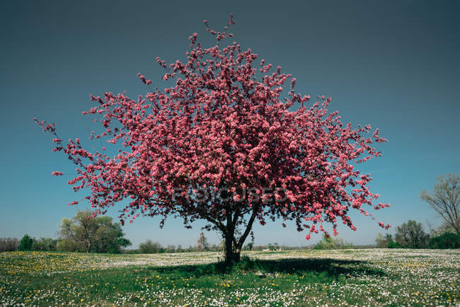 Green meadow with blossoming spring tree with red flowers — Stock Photo