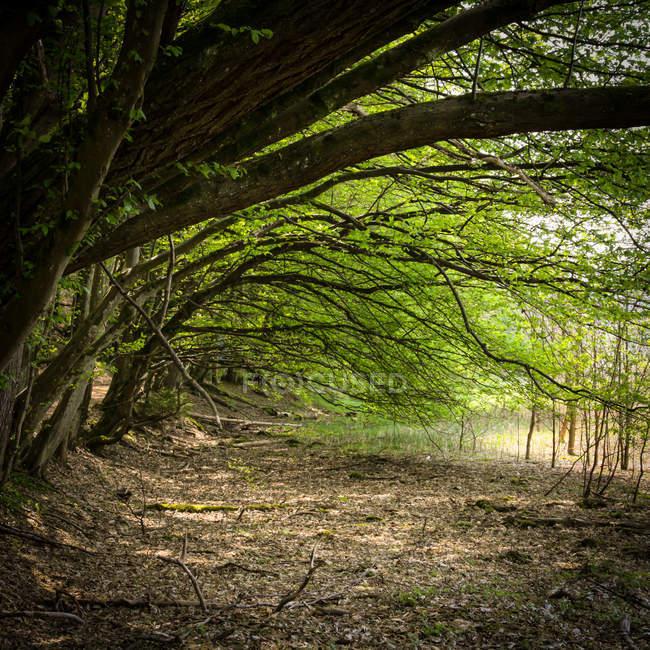 Essences forestières feuillage vert — Photo de stock