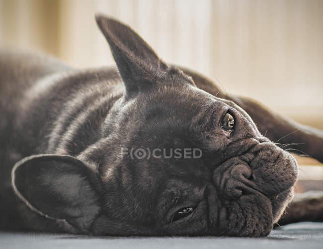 Vue rapprochée du bouledogue français gisant sur le sol — Photo de stock