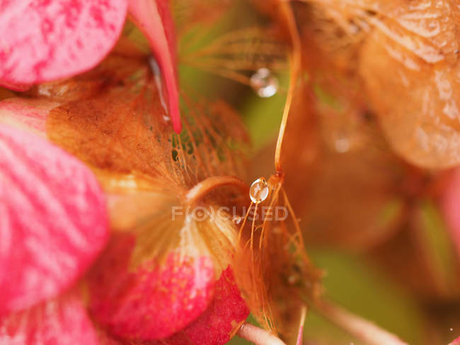 Flower bud with dew drops — Stock Photo