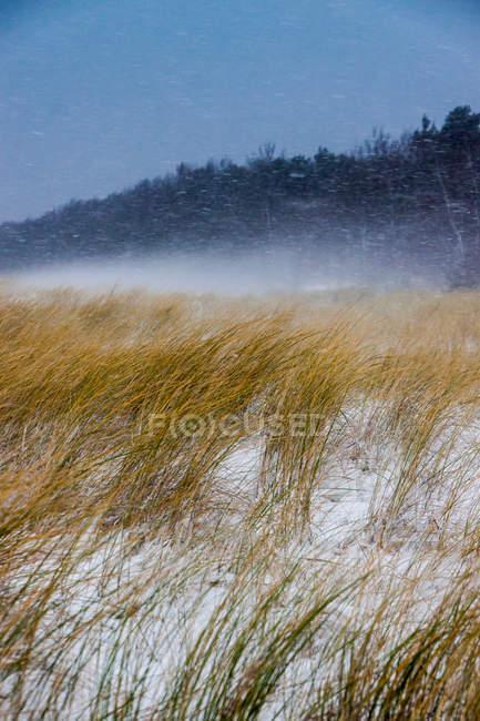Herbe séchée sur champ neigeux — Photo de stock