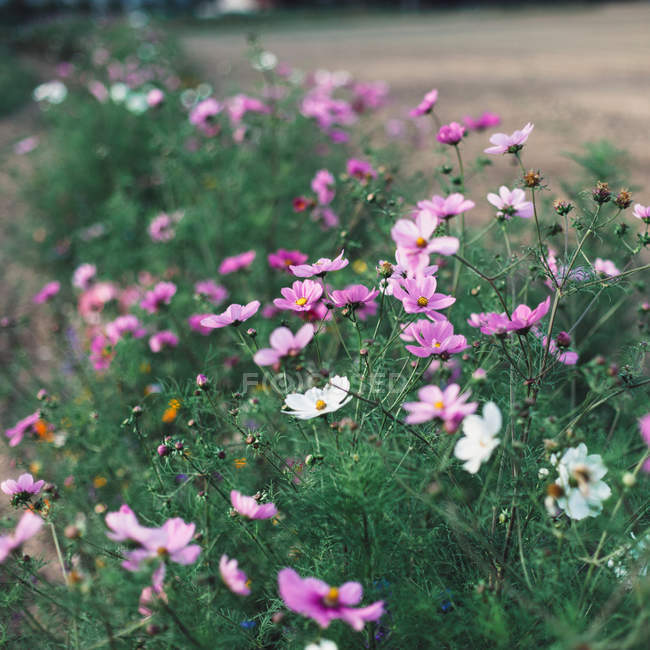 Крупным планом вид цветущих диких цветов на лугу — стоковое фото