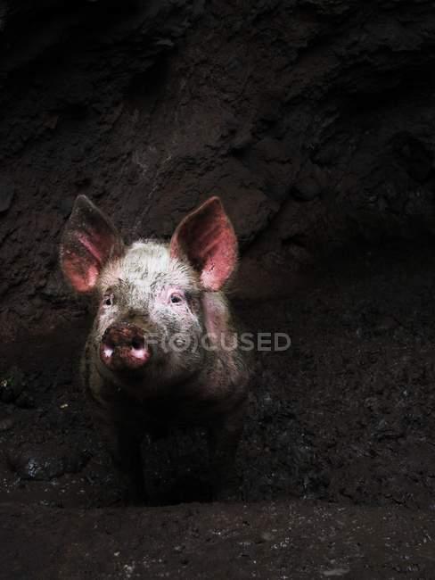 Домашняя свинья, глядя из грязной ямы — стоковое фото