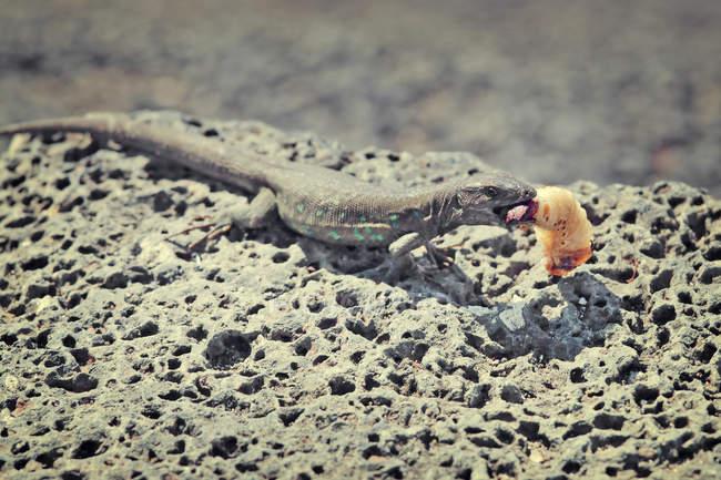 Крупним планом подання ящірка їдять Личинка видовбаних камінь — стокове фото