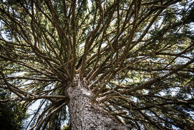 Coniferous  tree trunk and branches — Stock Photo