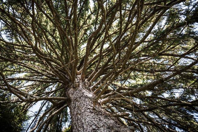 Хвойное дерево ствола и ветвей — стоковое фото