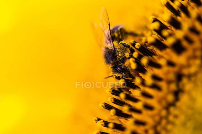 Bee sitting on sunflower — Stock Photo