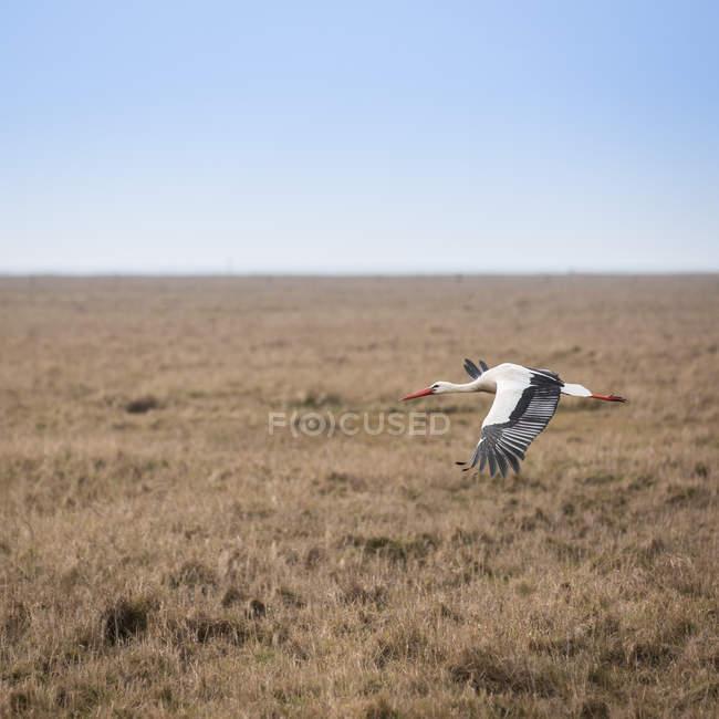 Cigüeña Volando sobre Prado - foto de stock