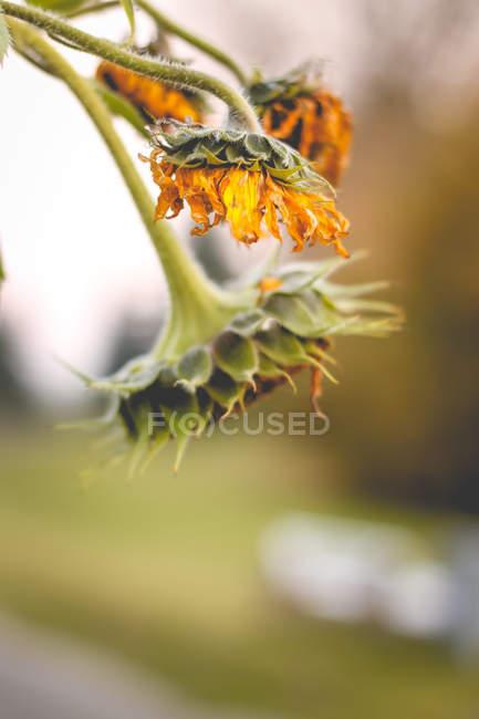 Yellow sunflowers, close-up — Stock Photo
