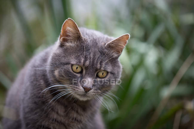 Closeup view of gray cat sitting outdoors and looking down — Stock Photo
