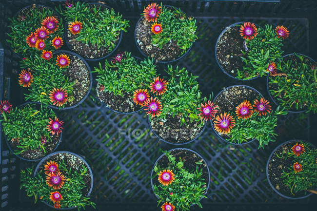 Closeup view of flowering pot plants top view — Stock Photo