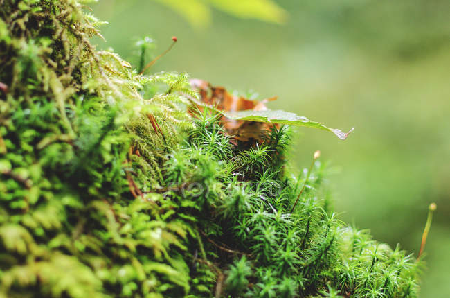 View of moss sprouts — Stock Photo