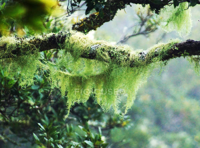 Trees branches overgrown by moss — Stock Photo