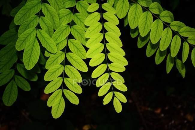 Folhas verdes em fundo escuro — Fotografia de Stock