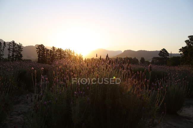 Paesaggio con campo di lavanda — Foto stock