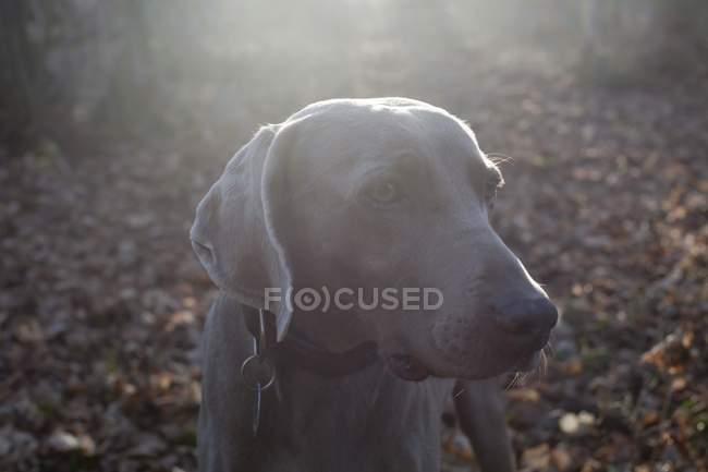 Вид weimaraner собаки в лесу — стоковое фото