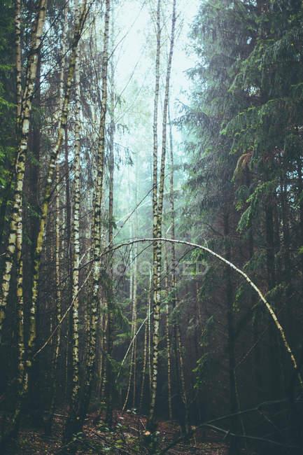 Tronco de árvore de vidoeiro curvo — Fotografia de Stock