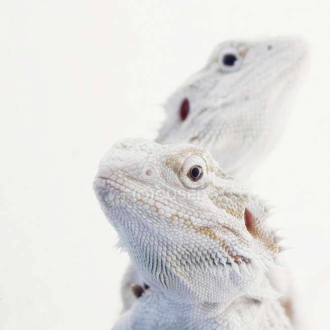 Closeup vista umjogo farpado lagartos na luz de fundo — Fotografia de Stock