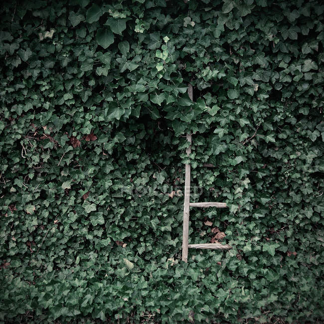 Wooden ladder in green ivy foliage — Stock Photo