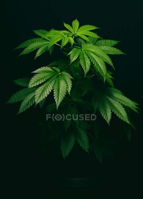 Cannabis Pflanzen grüne Blätter auf dunklem Hintergrund — Stockfoto